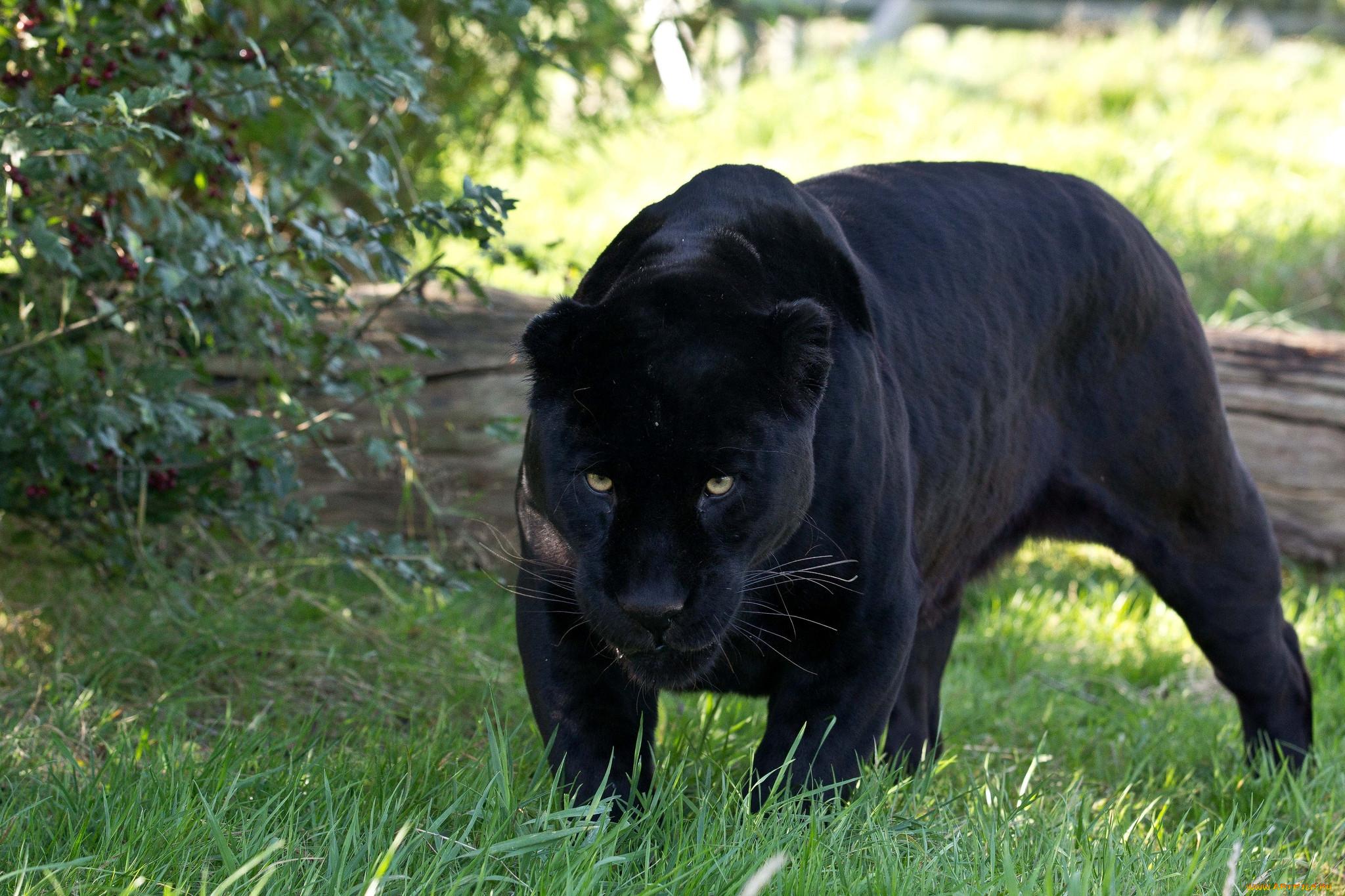 паразит способствует пума черная фото животное пока некоторые пользователи